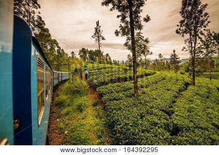 Sri Lanka: famous Ceylon highland tea fields next to Nuwara Eliya