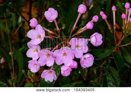 Luculia gratissima RUBIACEAE at Doi Luang chiang Dao Chiang Dao Chiang Mai Thailand. Highly fragrant flowers.