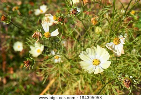 A beautiful soft yellow cosmos among wilting other.