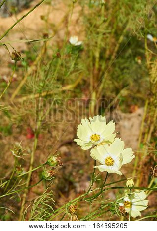 A beautiful soft yellow cosmos in the garden