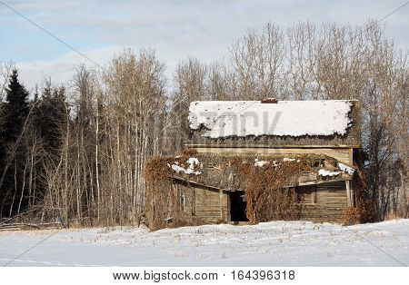 Abandoned two story wood house overgrown by vines in front of forest of trees in winter landscape