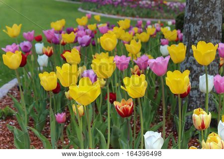 floral bed of colorful vibrant spring tulips