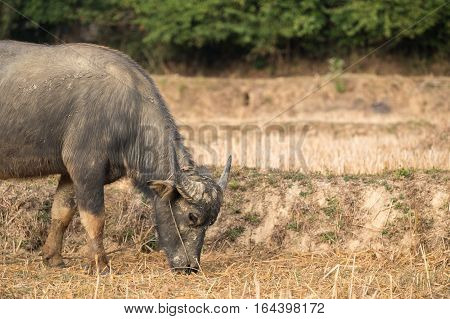 Buffalo eating straw on rice field in countryside of Thailand.