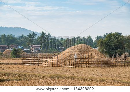Rice field with many straw in winter