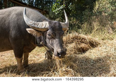 Buffalo eating straw, Agriculture scene in countryside of Nan province, Thailand.