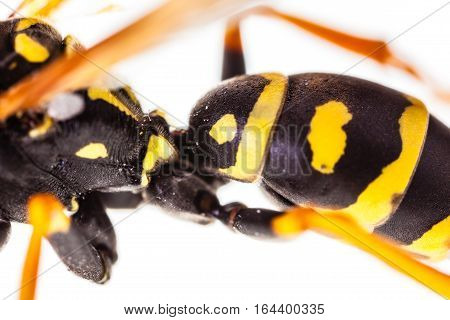 Wasp Abdomen Detail