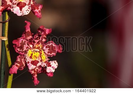 Pink spotted Cattleya orchid flower morph with two stamens blooms in Hawaii in the winter.