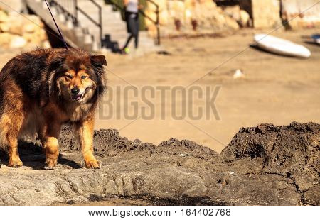 Elderly mixed breed mutt dog walks on the rocks at the beach.