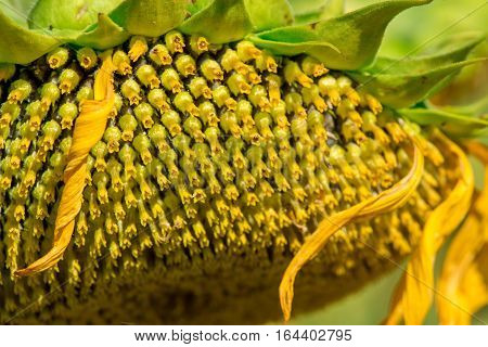 Close-up macro detail of the florets on a flower head of the common sunflower (Helianthus annuus) facing downwards. Nature and summer concept.