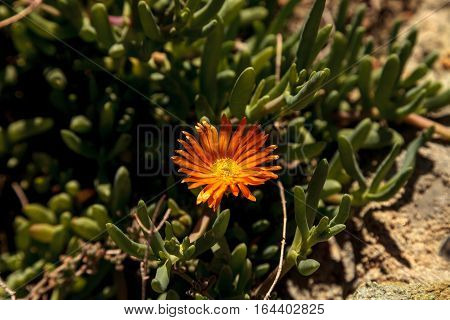 Orange flower on ice plant ground cover at the coastline on the edge of the beach in Southern California