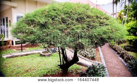 Great Strong Bonsai Tree does not need to be big but need to have balance and pride