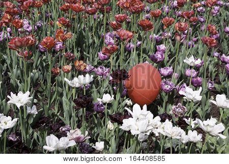 Wide view of a bed of purple mauve white and red tulips with a single red balloon among them on a bright sunny day in May at the Tulip Festival in Ottawa, Ontario.