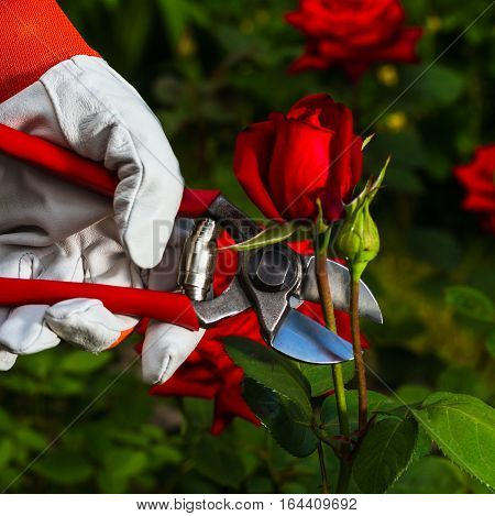 Gardener's Hand Cutting Off A Rose.