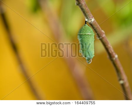 Monarch butterfly pupae covered in morning dew on milkweed branch. Copy space.