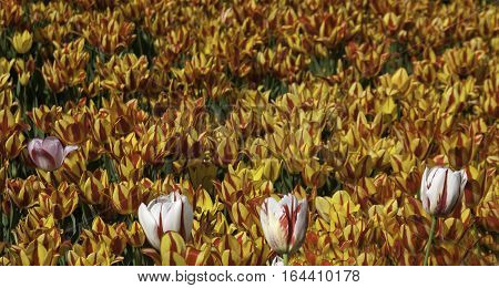 Image of a bed of red and white Canada 150 tulip standing high in front of a mass of orange open face tulips behind on a bright sunny day in May at the Tulip Festival in Ottawa, Ontario.