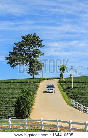 Tea plantation lone tree and car driving from the hill in Chiang rai Thailand