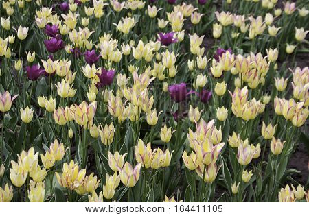 Wide view of beautiful yellow tinged purple open faced tulips interspersed with purple tulips and green leaves as background on a bright sunny day in May at the Tulip Festival in Ottawa, Ontario.