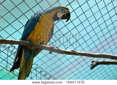 The blue and yellow macaw (Ara ararauna) is a large South American parrot with blue top parts and yellow under parts.