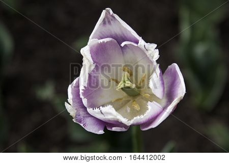 Close up centered image of a beautiful white and mauve open faced tulip with soft foliage in background on a bright sunny day in May, at the Tulip Festival in Ottawa, Ontario.