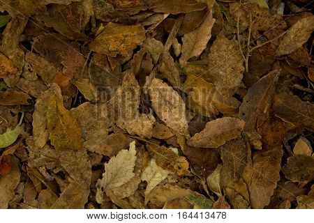 Background made of many dry leaves brown
