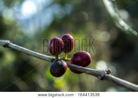 Five Coffee Fruits Ready to be cut