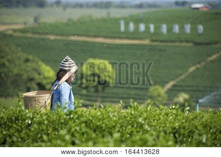 Traveler carrying a basket on a tea plantation.