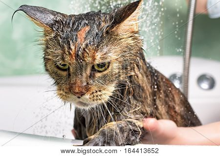Cat bath. Wet cat. Girl washes cat