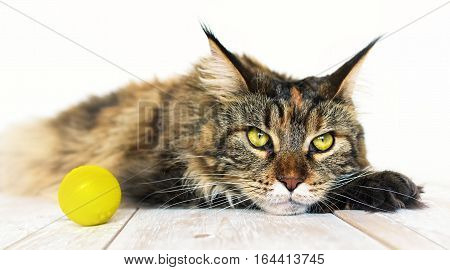 Sad cat. Sick or tired cat on white background