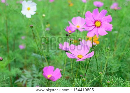 Cosmos flower on a green background / Purple cosmos flower on a green background