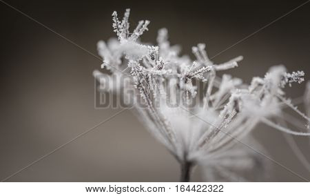 Macro Of Plant With Rime.