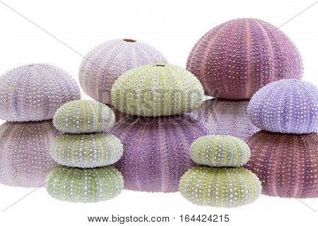 Group of sea shells of sea urchin ( Echinoidea) isolated on white background.
