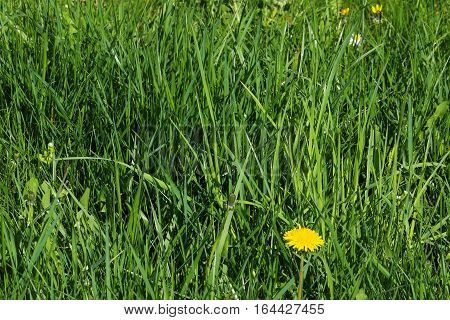 Photo of unkept grass with one dandelion in bloom (Taraxacum) and a few weed in background