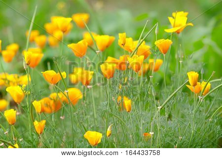 California golden poppy flowers blooming on field. Selective focus