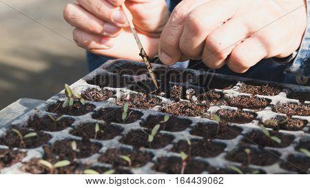 Plant Seedling In The Vegetable Plot