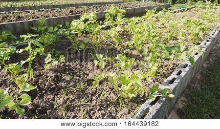 Celery In The Vegetable Plot