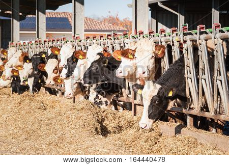 Cows Eating Hay In Cowshed