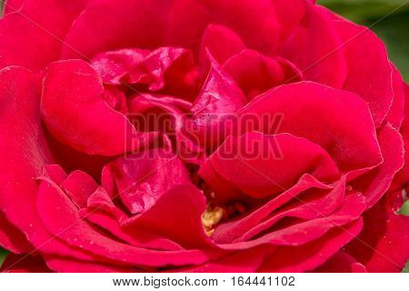 Inflorescence of red rose on a green background macro. Selective focus