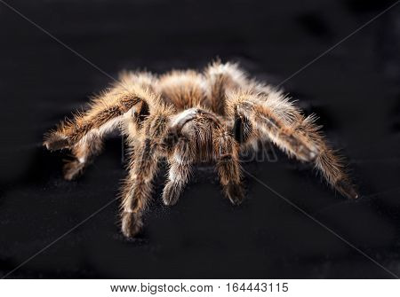 tarantula portrait in studio with black background