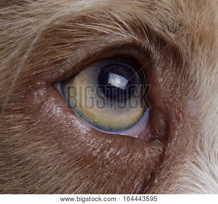 macro of the australian sheperd eye's in studio