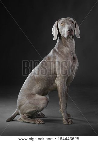 weimar adult dog in studio with grey background