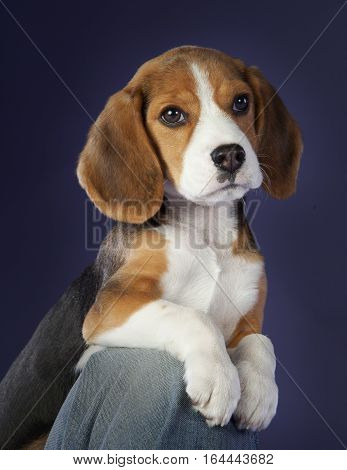Baby beagle on the chair in studio