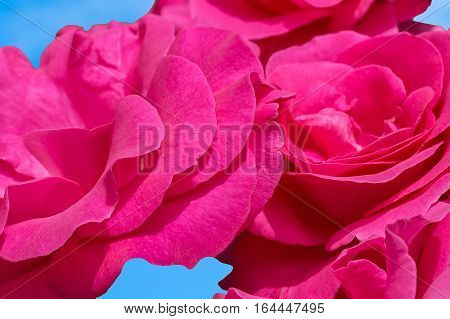 Inflorescences of pink roses on a background of blue sky macro. Selective focus