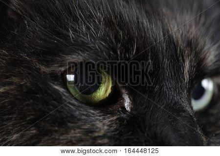Black Cat portrait in studio with correct ilumination