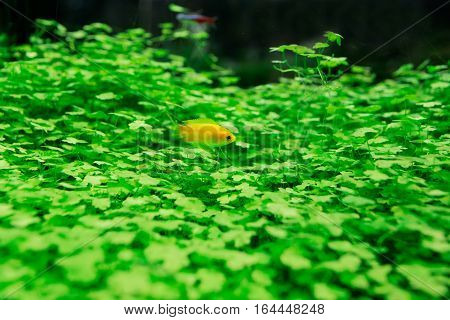 Goldfish in aquarium with green plants. Close up