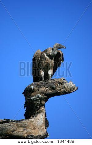 Vulture auf Baumstumpf im Serengeti Tansania