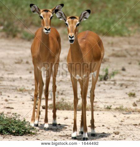 weibliche Impala Tsavo national park Kenia