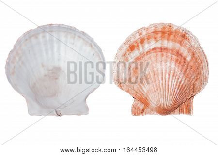 trumpeter shell scallop white background isolated sea shellfish