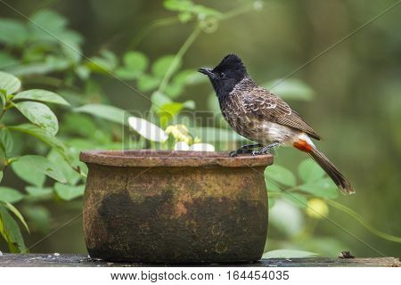 Red-vented bulbul in Minneriya national park, Sri Lanka; specie Pycnonotus cafer family of Pycnonotidae