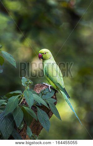 Rose-ringed parakeet in Minneriya national park, Sri Lanka; specie Psittacula krameri family of Psittacidae