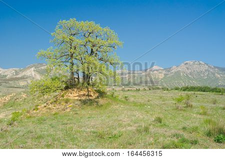 Splendid lonely oak on a hill against Eastern Crimean mountains at spring season.